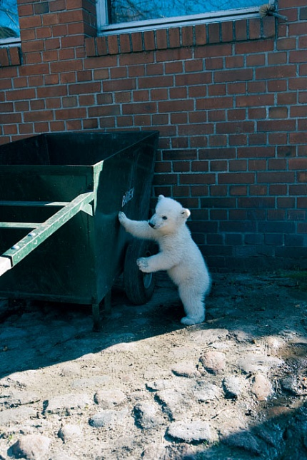 Knut playing in his enclosure at Berlin zoo. Image credits: Vanity Fair